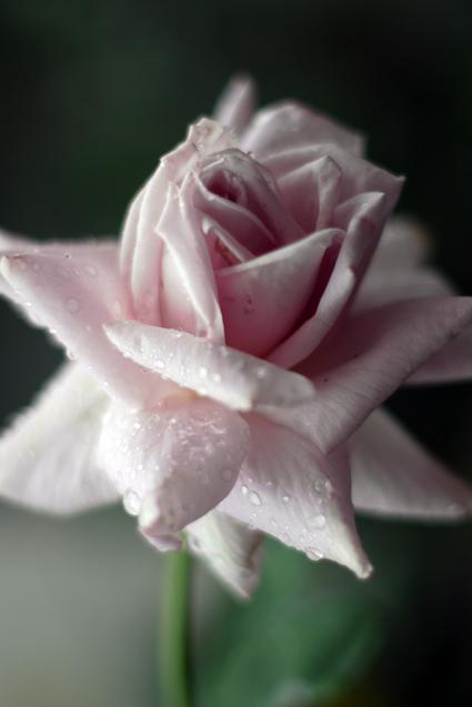 Flower_rain_04