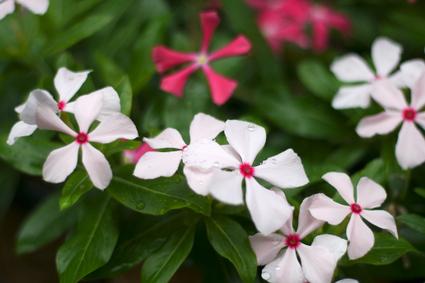 Flower_rain_05